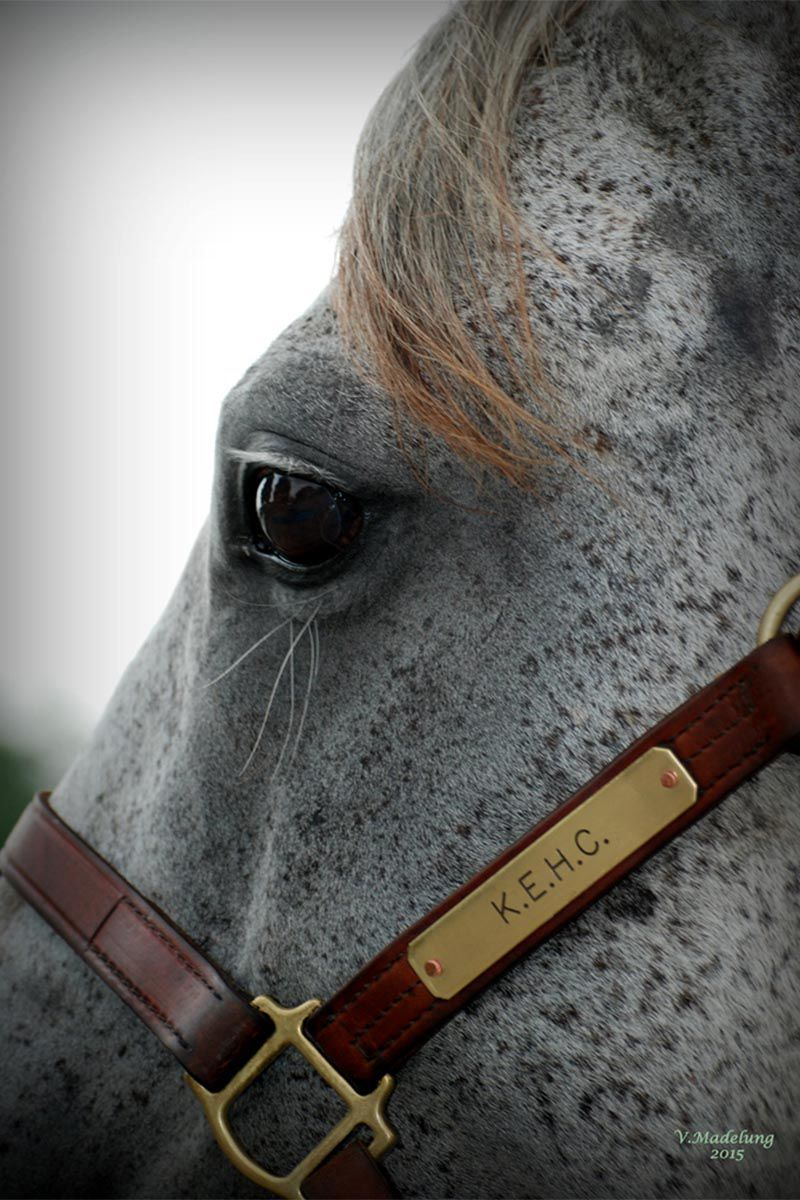 Kentucky-Equine-Humane-Center-Bridle-on-spotted-horse