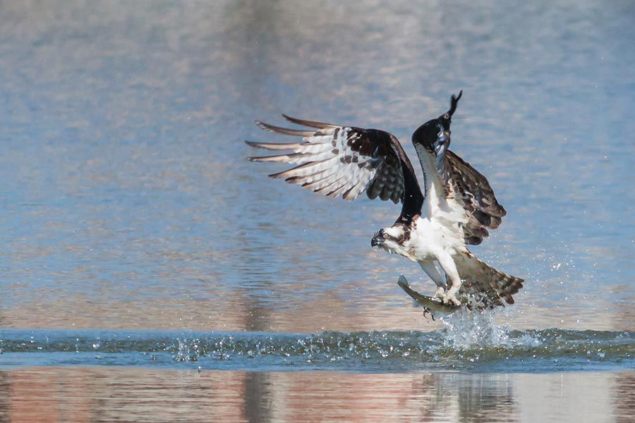 osprey fishing for trout FINs