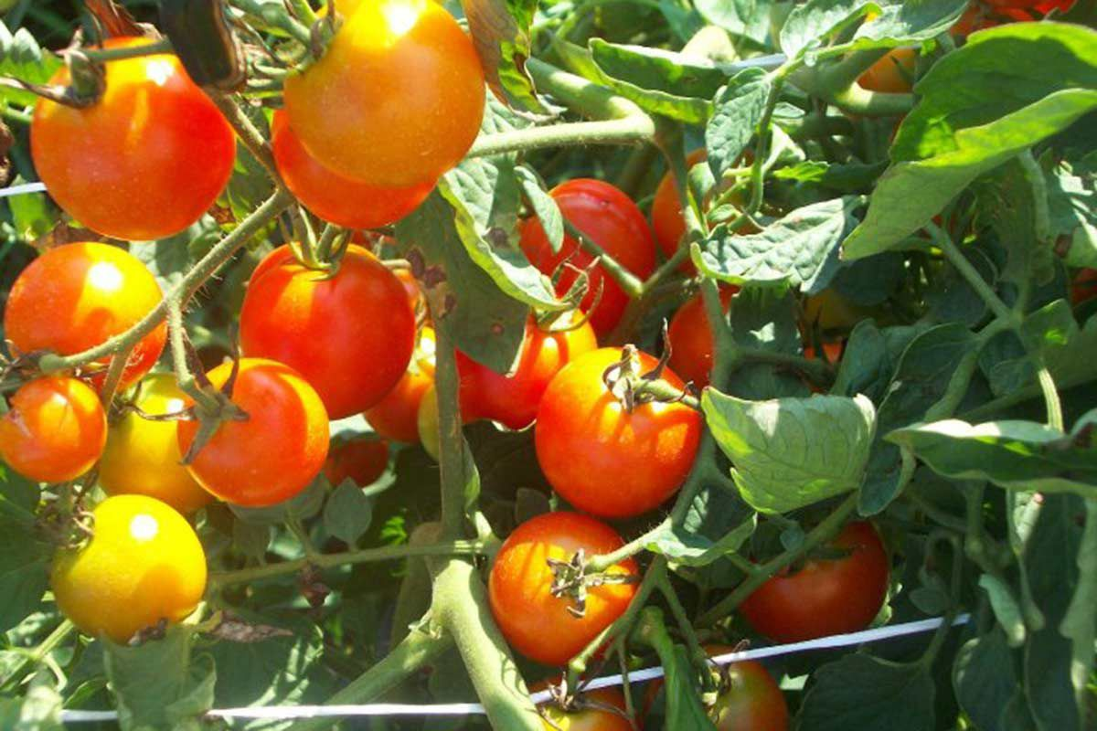 Dennison's Market tomatoes