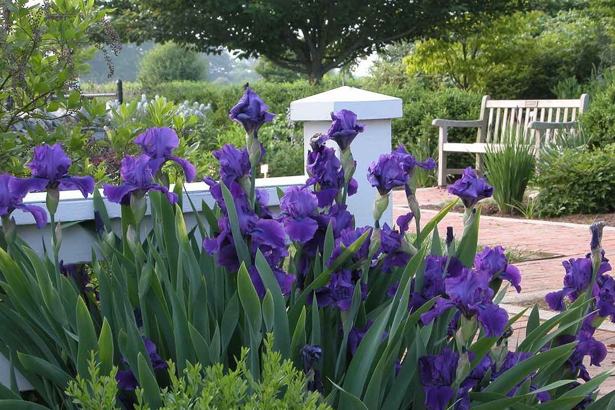Iris in the Home Demonstration Garden