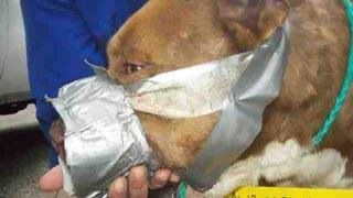 Frodo, previously a fighting dog, was found with his muzzle taped shut. Photo: The Arrow Fund