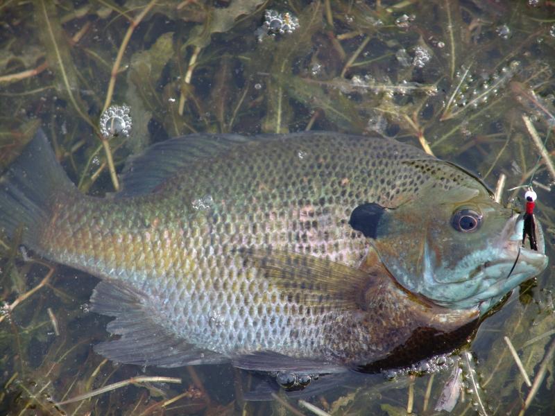 Bluegill Offer Great Late Spring Fishing Kentucky Living