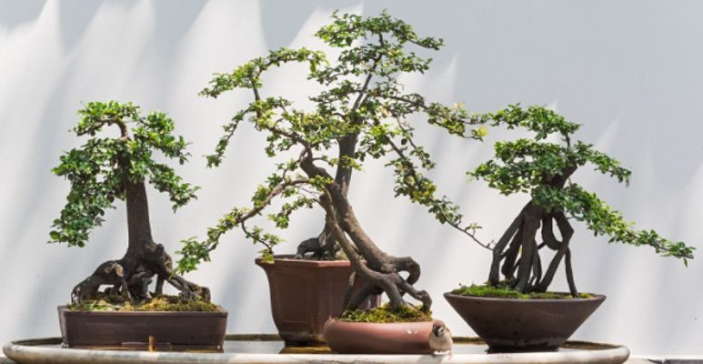 The Beauty of Bonsai Sequence: Introduction – VIRTUAL